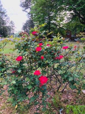 蔡楚:我家的玫瑰花开了