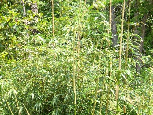 蔡楚:我家的竹林
